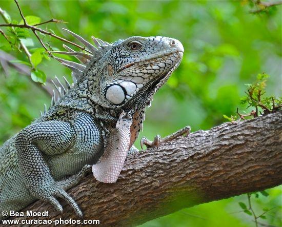 Iguana (Curaçao) - photo by Bea Moedt