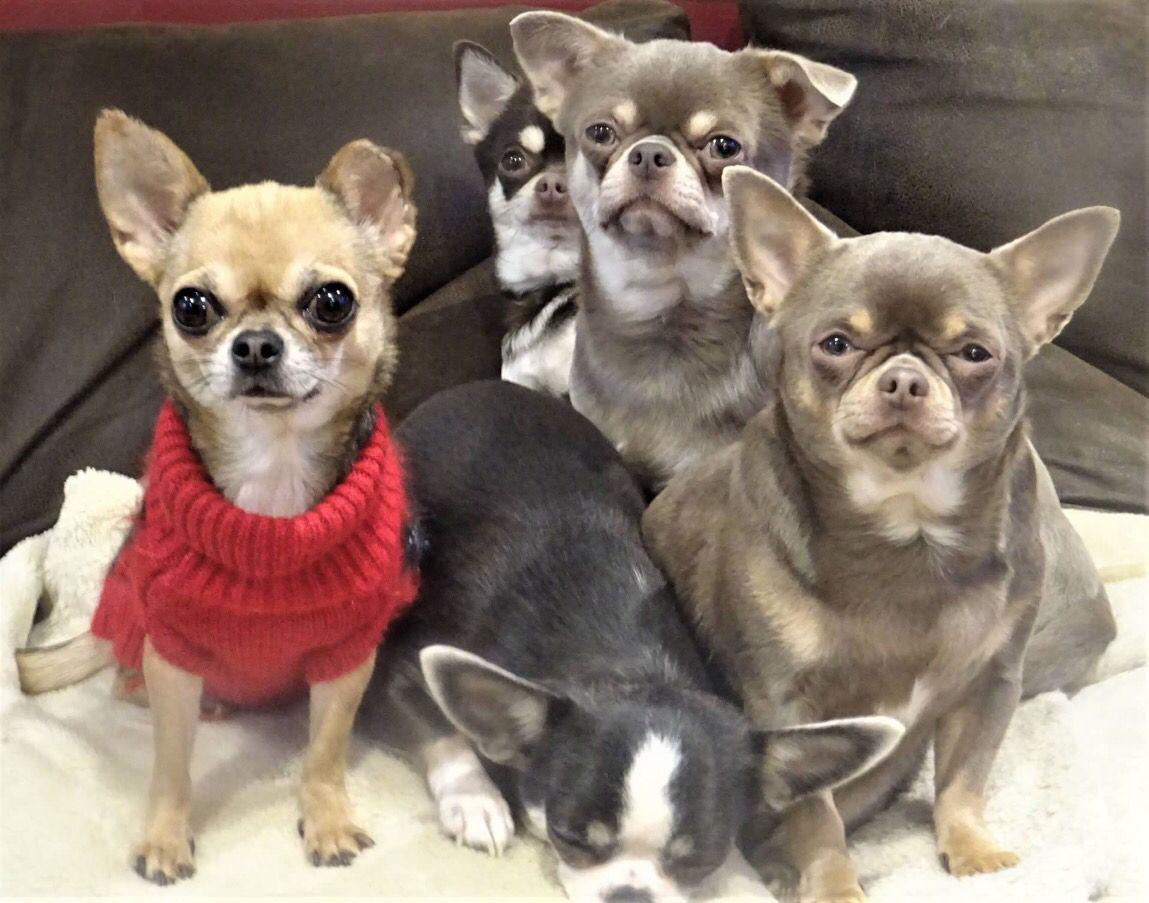 Pin By Teresa Callicoat On Chihuahua Cute Animals Chihuahua