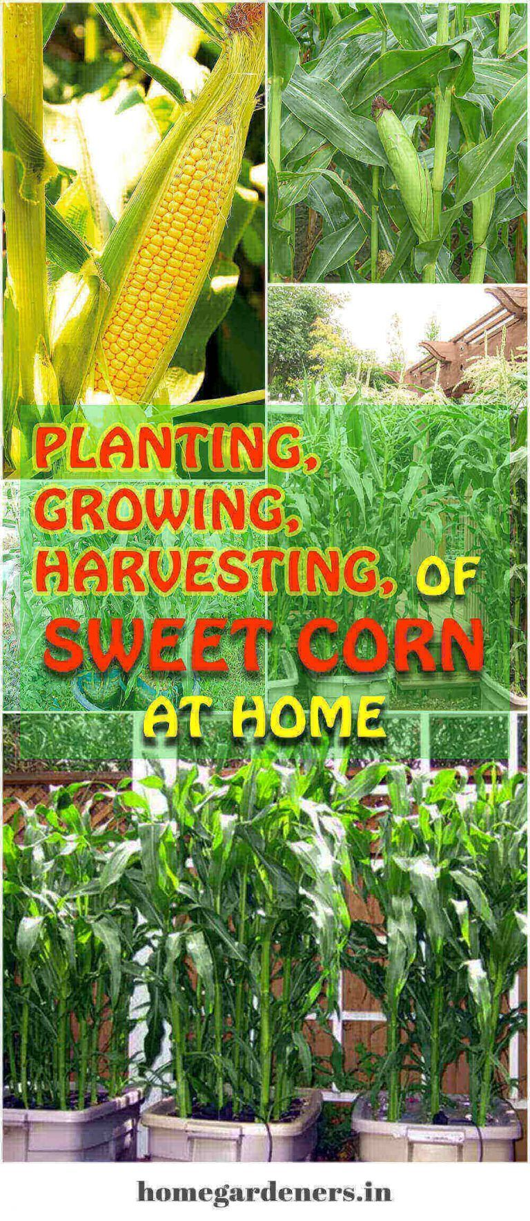 Planting Growing And Harvesting Of Sweet Corn At Home With