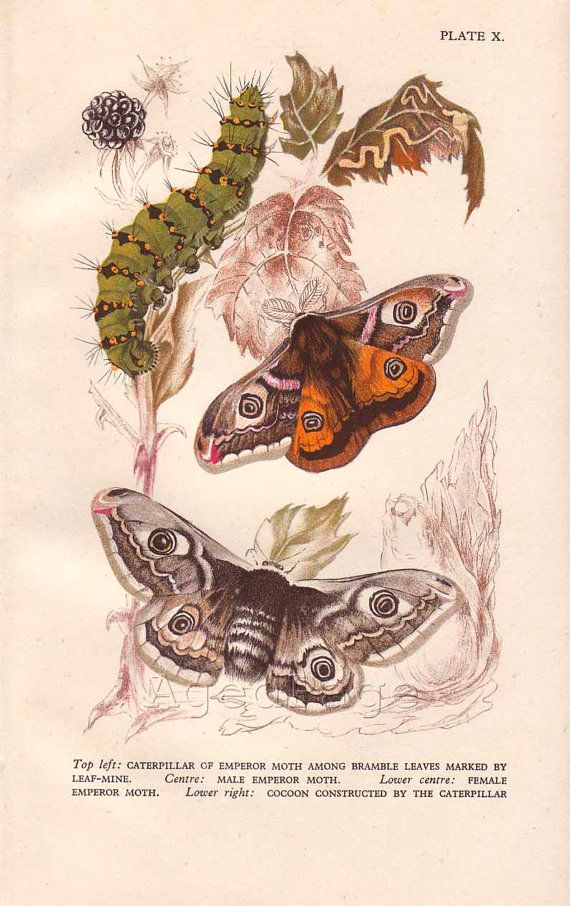 Vintage Insect Print, Butterfly Lithograph, Art Illustration