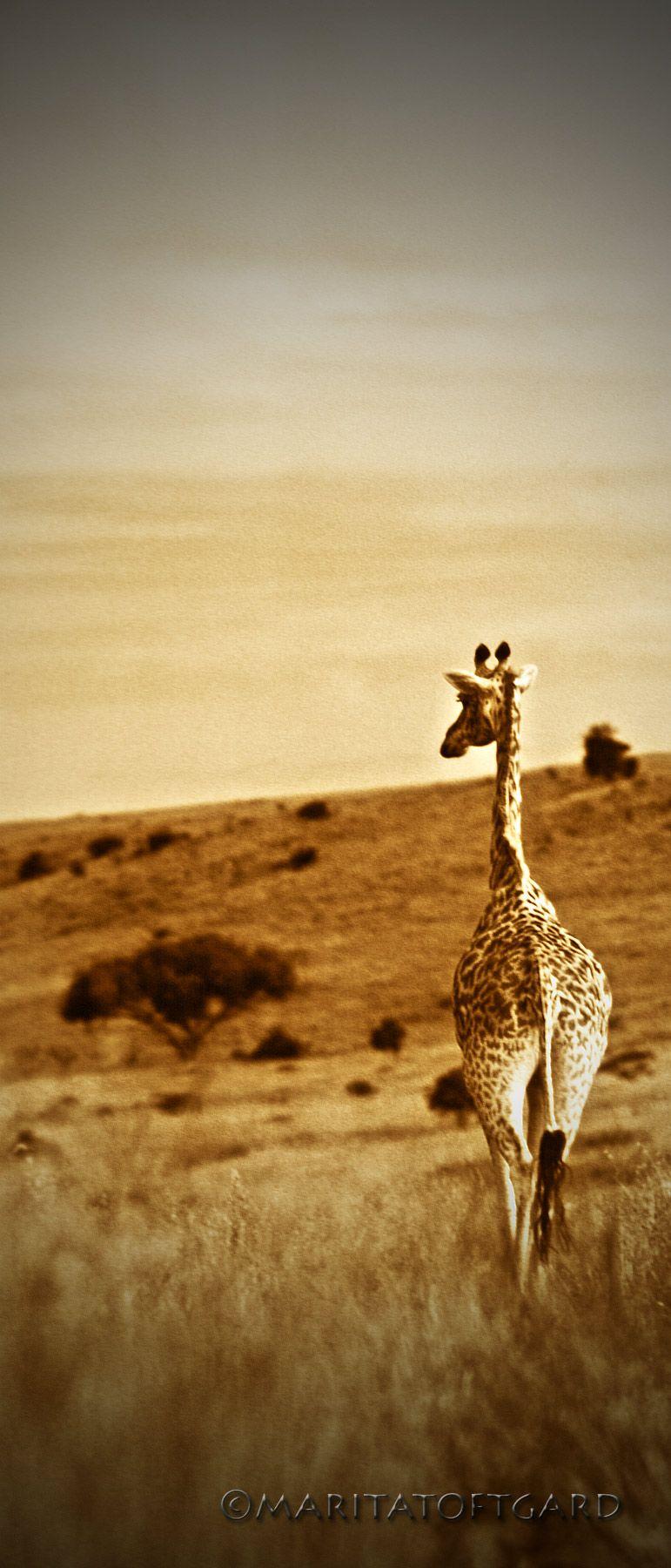#Africa..I had a home....in... #Giraffe in #Kenya. Photo by #MaritaToftgard