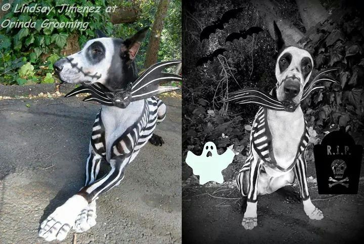 Great Dane painted like the pumpkin king off of nightmare before