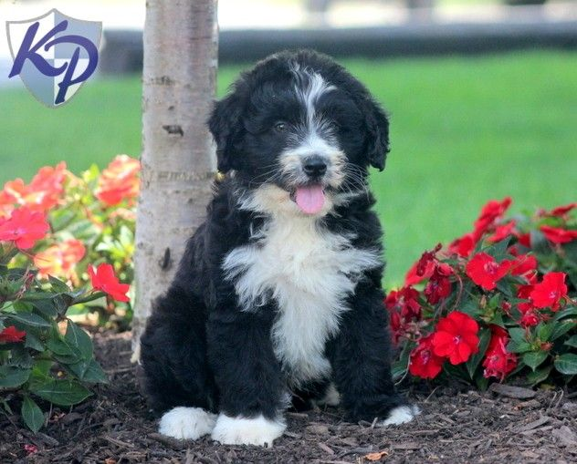 Aussiedoodle Puppies For Sale Health Guaranteed Keystone Puppies Aussiedoodle Puppies For Sale Puppy Breeds