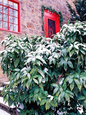 Golddust plant Plant Encyclopedia BHGcom shade plants