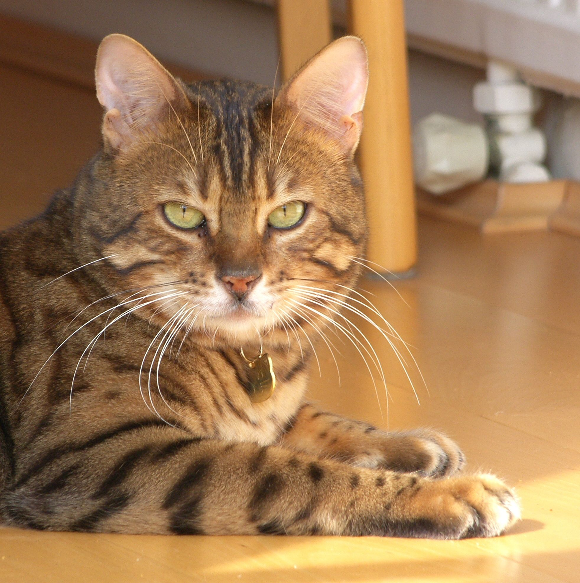 Bengal cats are the best Right Zoe