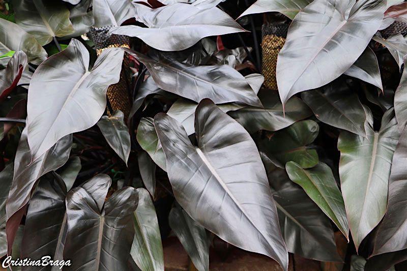 Filodendro Roxo Philodendron Erubescens Com Imagens