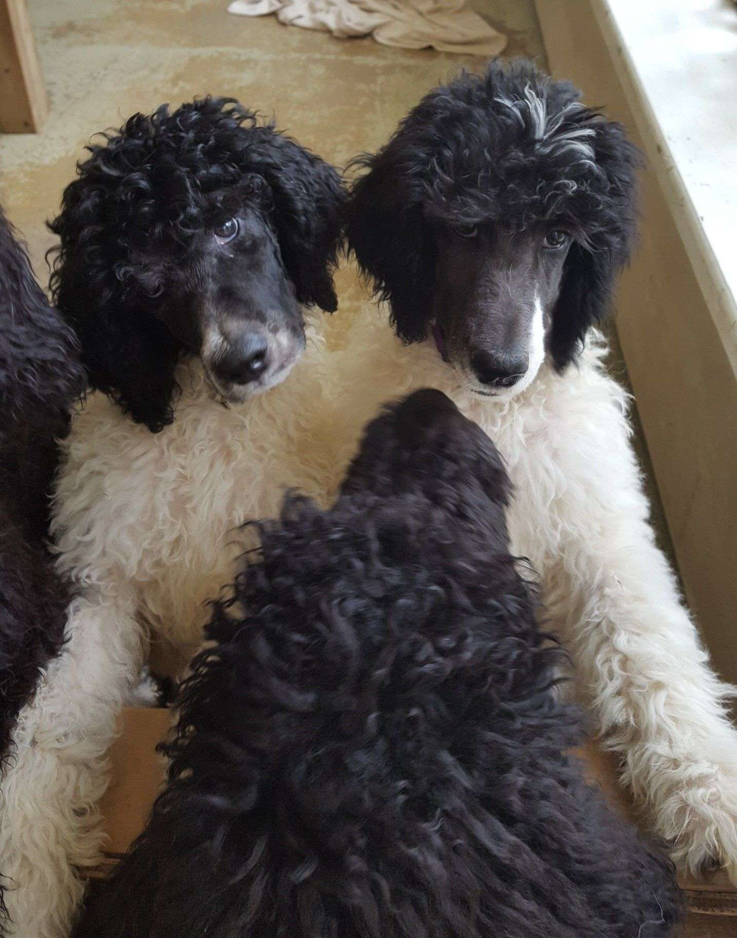 A group of Standard poodle puppies  | Poodles | Poodle grooming