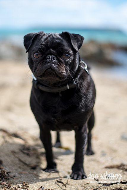 Leffe Baby Pugs Black Pug Pugs