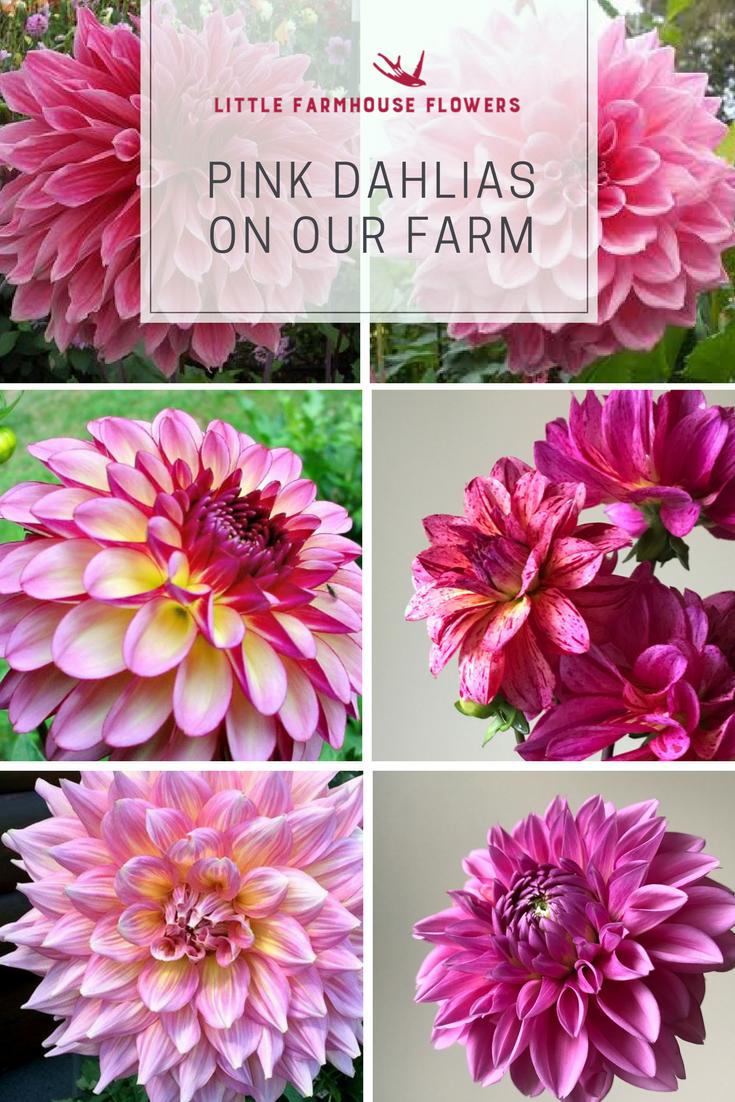 Are Dahlias Annual Or Perennial Plants Purple Flower Names Perennial Plants Flower Names