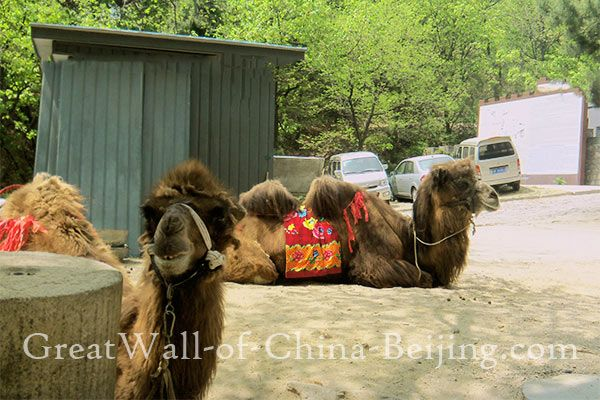 Mutianyu Great Wall of China 慕田峪 Beijing donkey