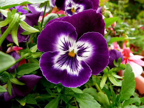 The Most Romantic Flowers And Their Meanings Viola Flower Flower Seeds Flower Meanings