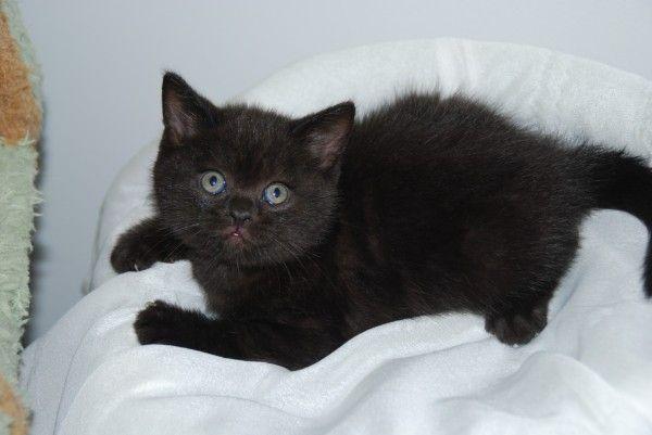 Black British Shorthair Kitten Http Le Domaine De Chopin Fr Index Html British Shorthair Kittens British