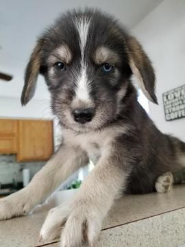 Alaskan Husky Poodle Standard Mix Puppy For Sale In Crete Il