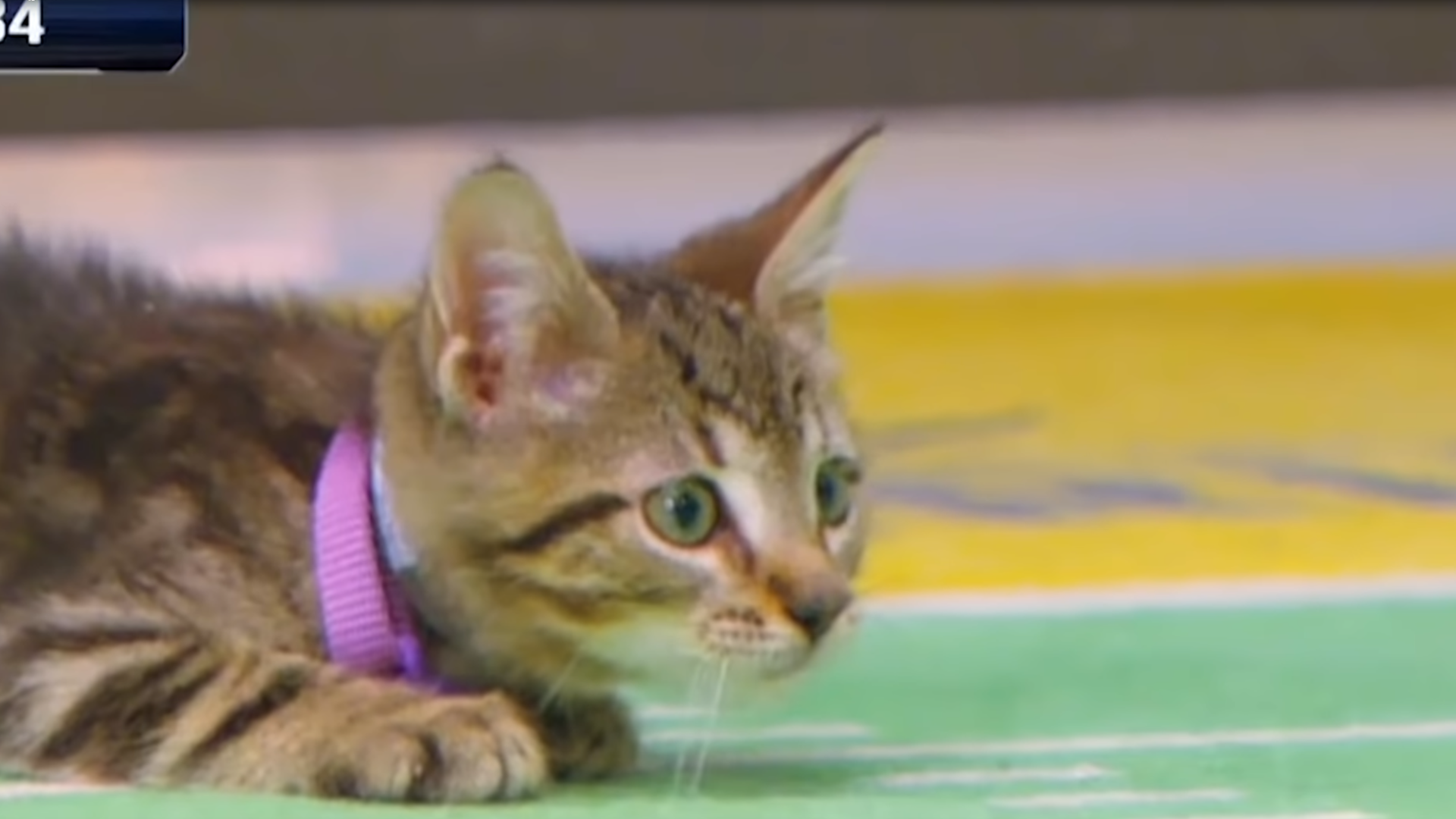 6 Facts About The Kitten Bowl The Fluffiest Cutest Game You Ll See All Year Kitten Bowls Animal League Kitten