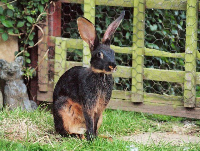 Black Tan Belgian Hare Bucks For Sale In Leamington Spa