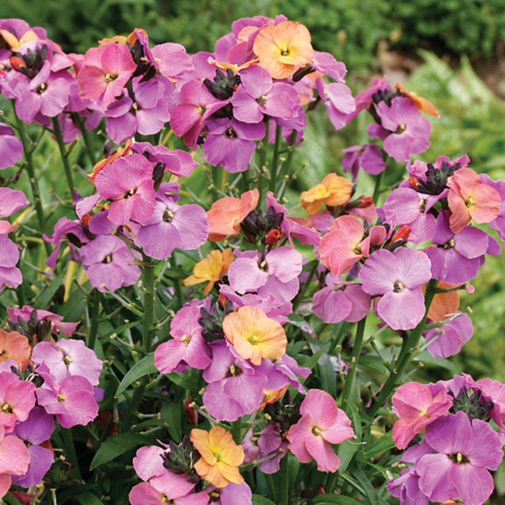 wallflower 39 sweet sorbet 39 cottage garden plants van