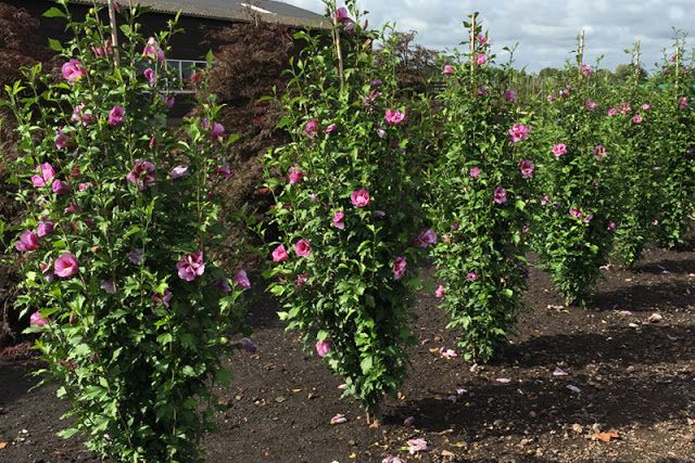 Plant Of The Week Purple Pillar Rose Of Sharon With Images