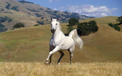 White Stallion Galloping Wallpaper Design