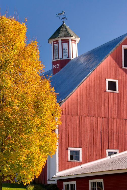 maple tree in autumn by the barn, Vermont│Alan Majchrowicz Photography