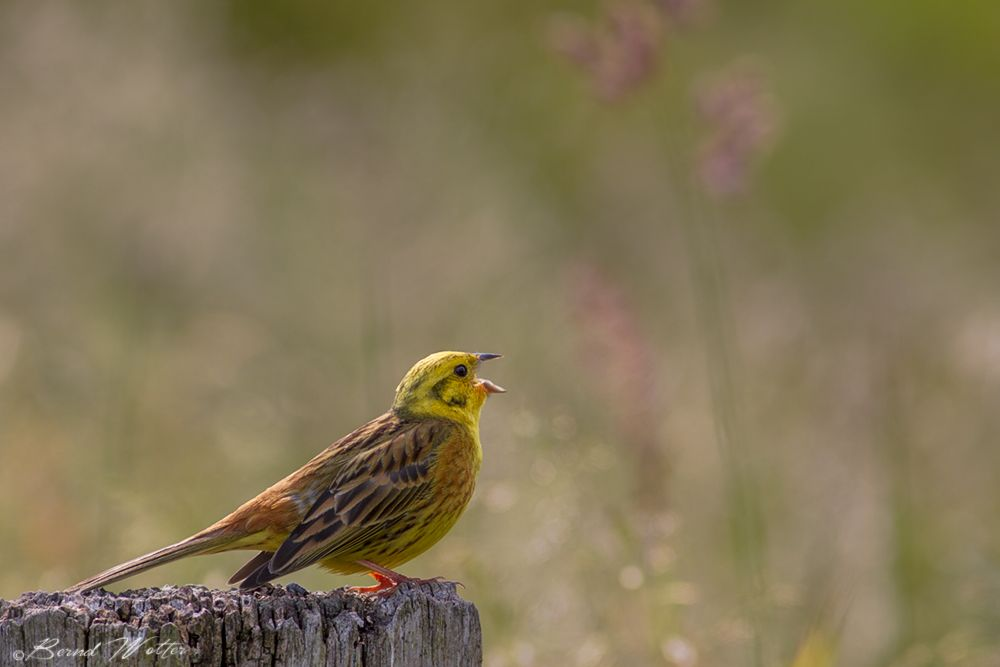 Where has the summer gone? Goldammer / Yellowhammer (Emberiza citrinella)