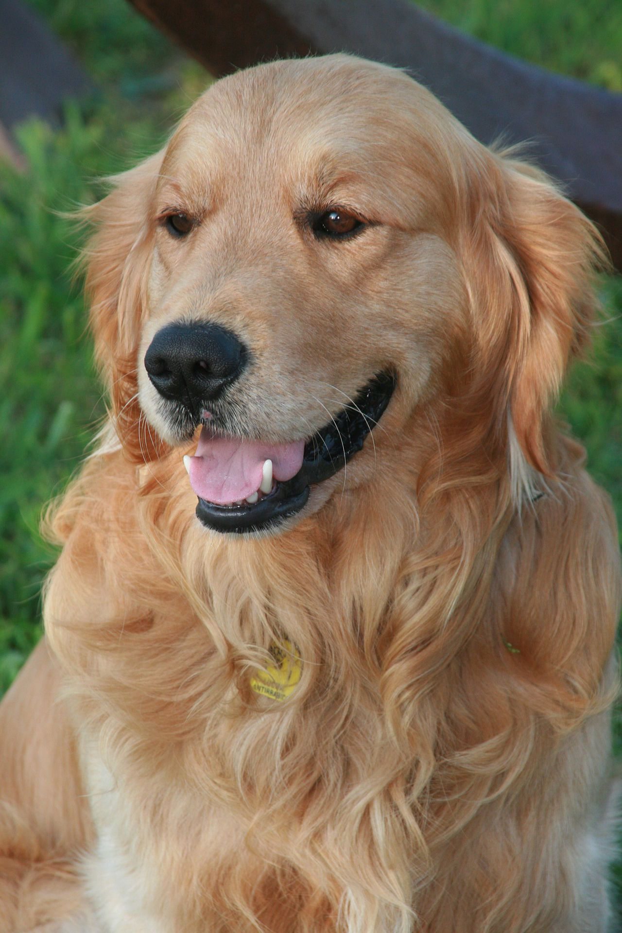 The Raising Training And Showing Of Golden Retrievers Who Are