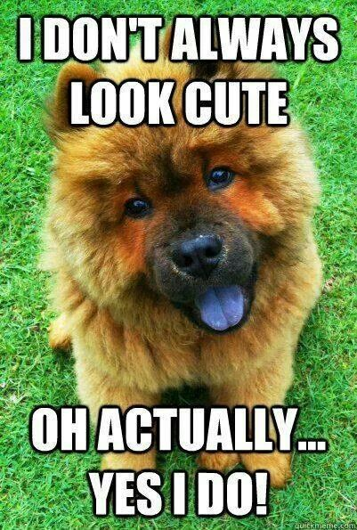 Pin By Cindy Vandonge On Dog Lovers Chow Chow Cute Dog Pictures