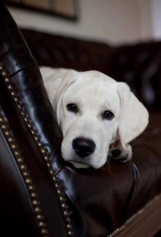 Texas White Lab White Lab Puppies Lab Puppies Labrador Retriever