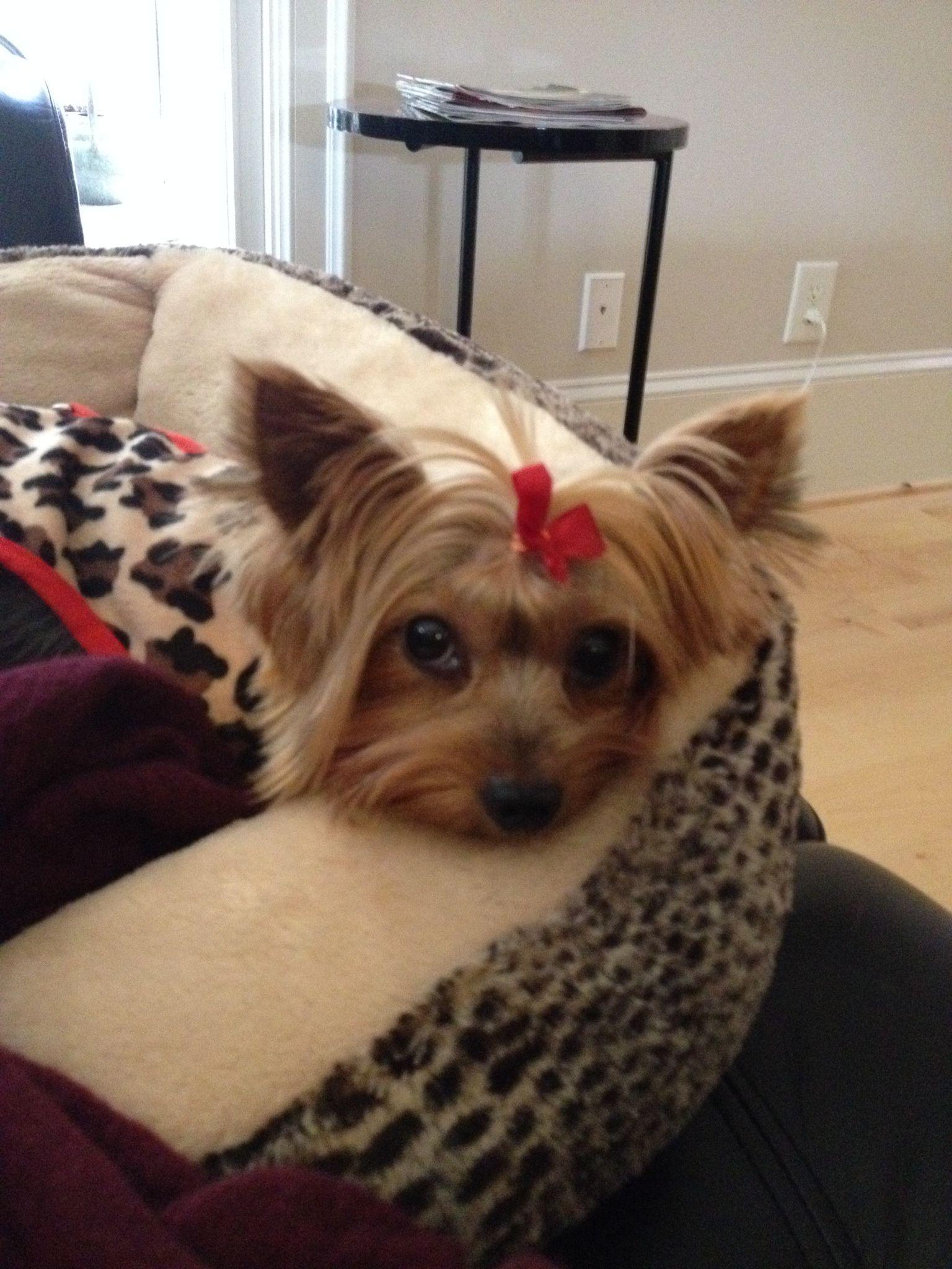 Pin By Janis Lee On Yorkies Yorkie Terrier Yorkie Terrier