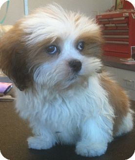 Shih Tzu Bichon Frise Mix Puppy For Sale In Overland Park Kansas Sully Shih Tzu Puppy Shih Tzu Morkie Puppies