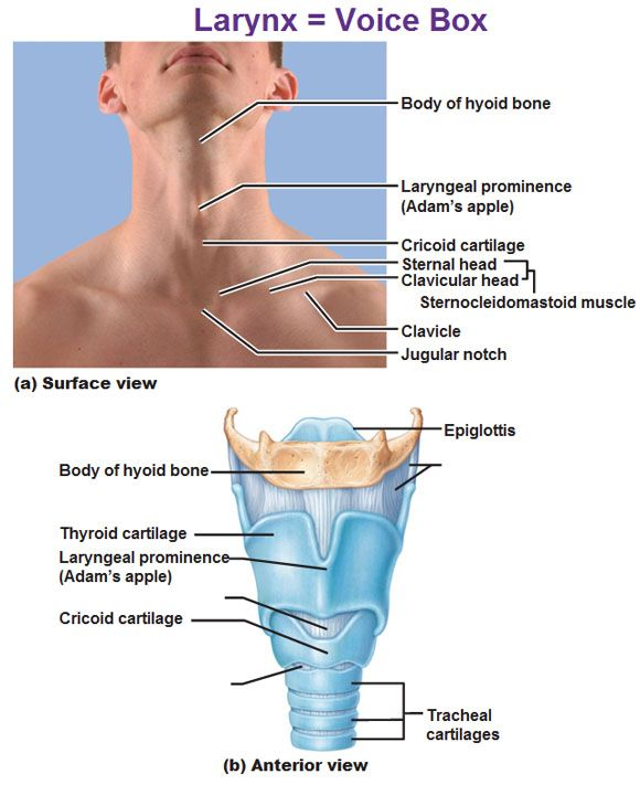 larynx voice box, hyoid bone, laryngeal prominence, adam\'s apple ...