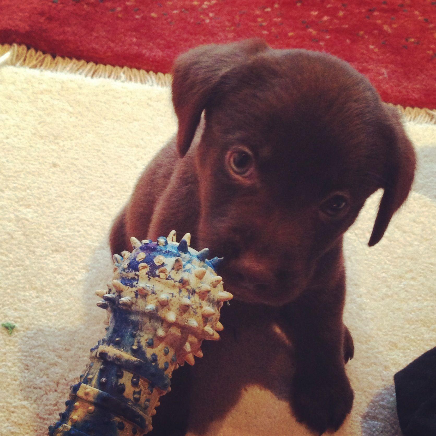 Morning chew toy! So fun!  Puppy - labrador - chocolate labrador - chocolate lab - dog - petersfield - pet - play - animal - love.