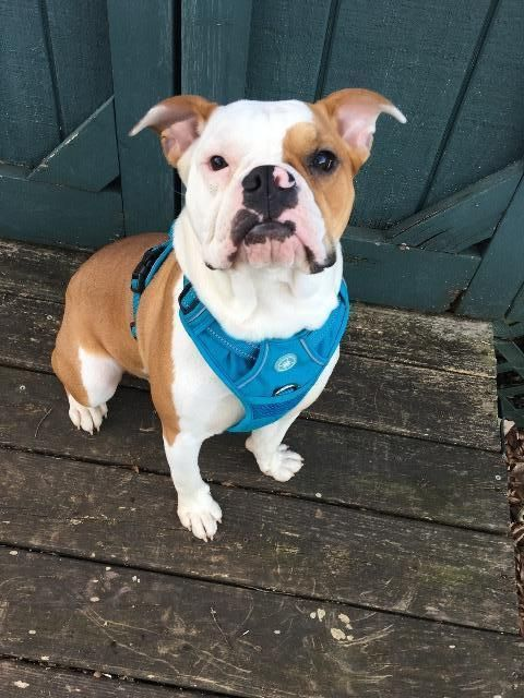 Mcgregor Adoptable Dog Young Male English Bulldog Mix Boxer