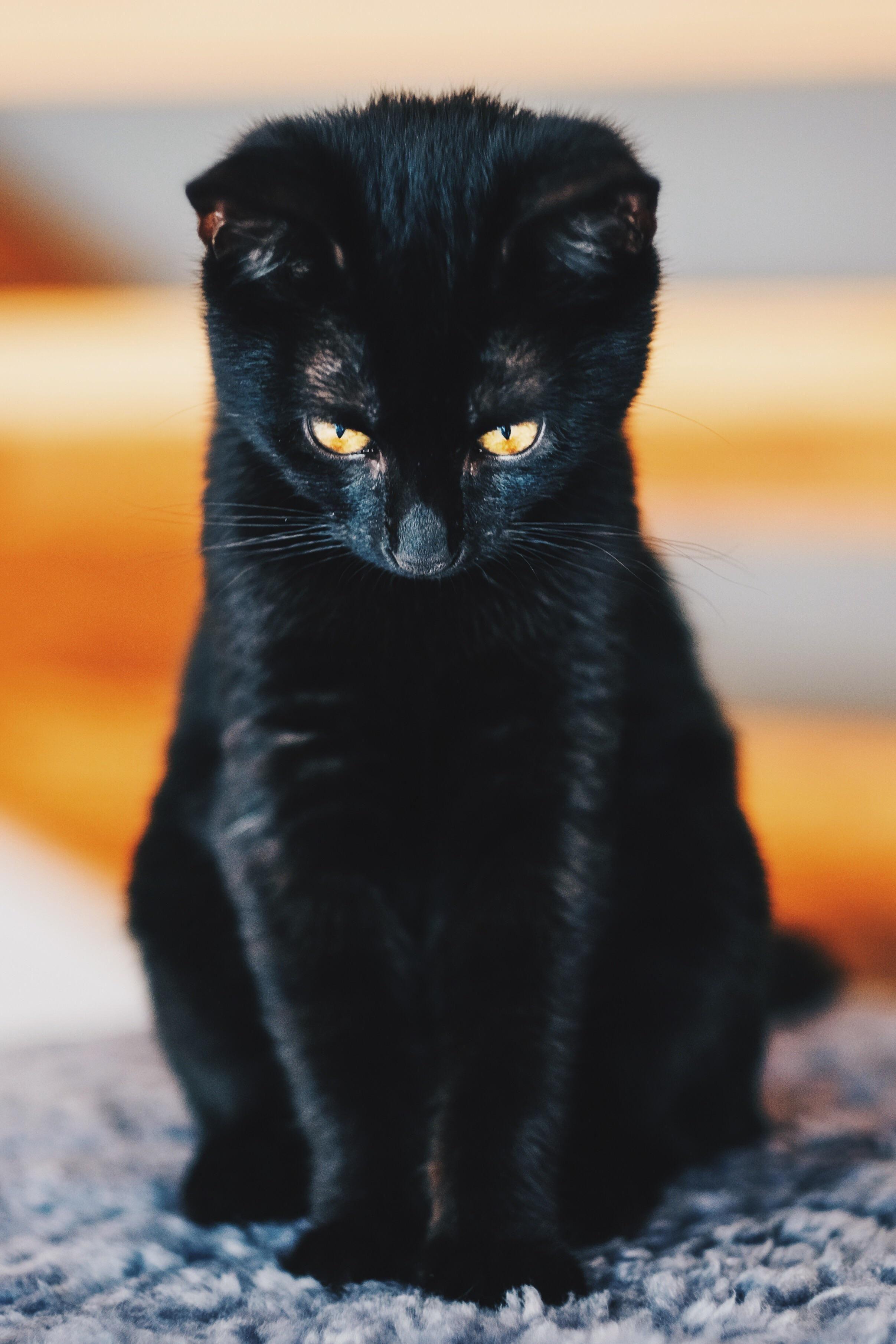Meet Kiwi 15 Weeks Old Panther Cats Black Cat Black Kitten