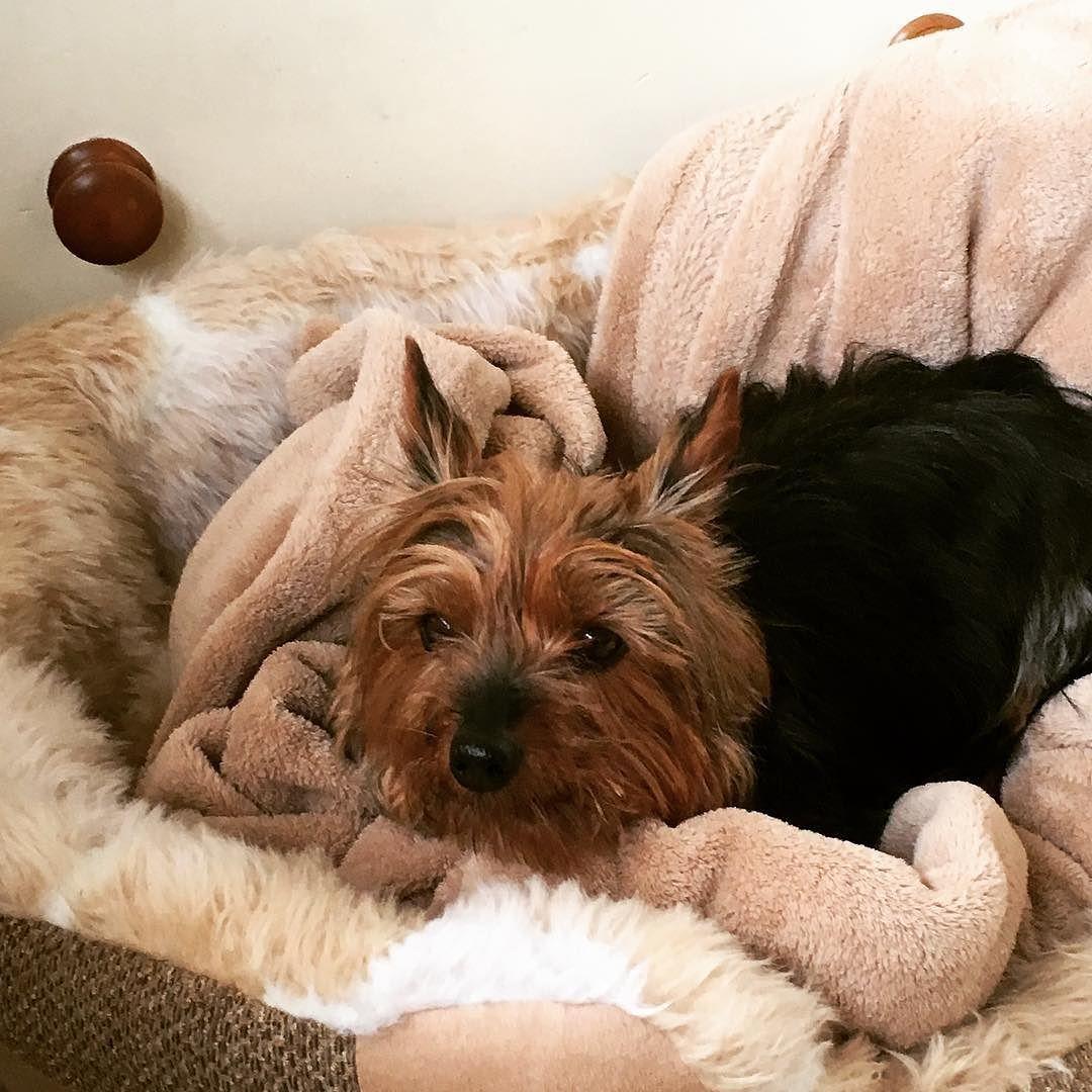 Elsie my Yorkshire Terrier snuggled in bed. Yorkie