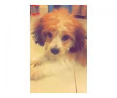 Non-Pedigree Dog 8 Weeks Old Beautiful Dog For Sale in