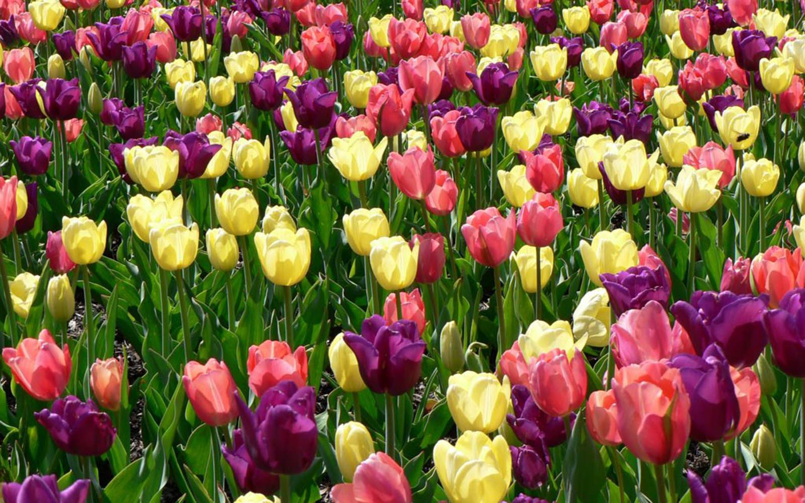 Spring Tulips Click Through To Full Image And Set As Your Desktop