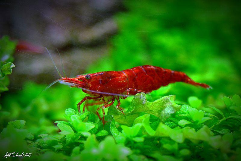 20150409n6015 Red Cherry Shrimp Fish Pet Cherry Shrimp