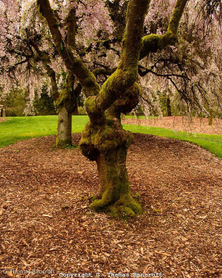 Uw Wa Park Arboretum Azelea Way Narly Old Cherry Blossom Trees Cherry Tree Tree Arboretum