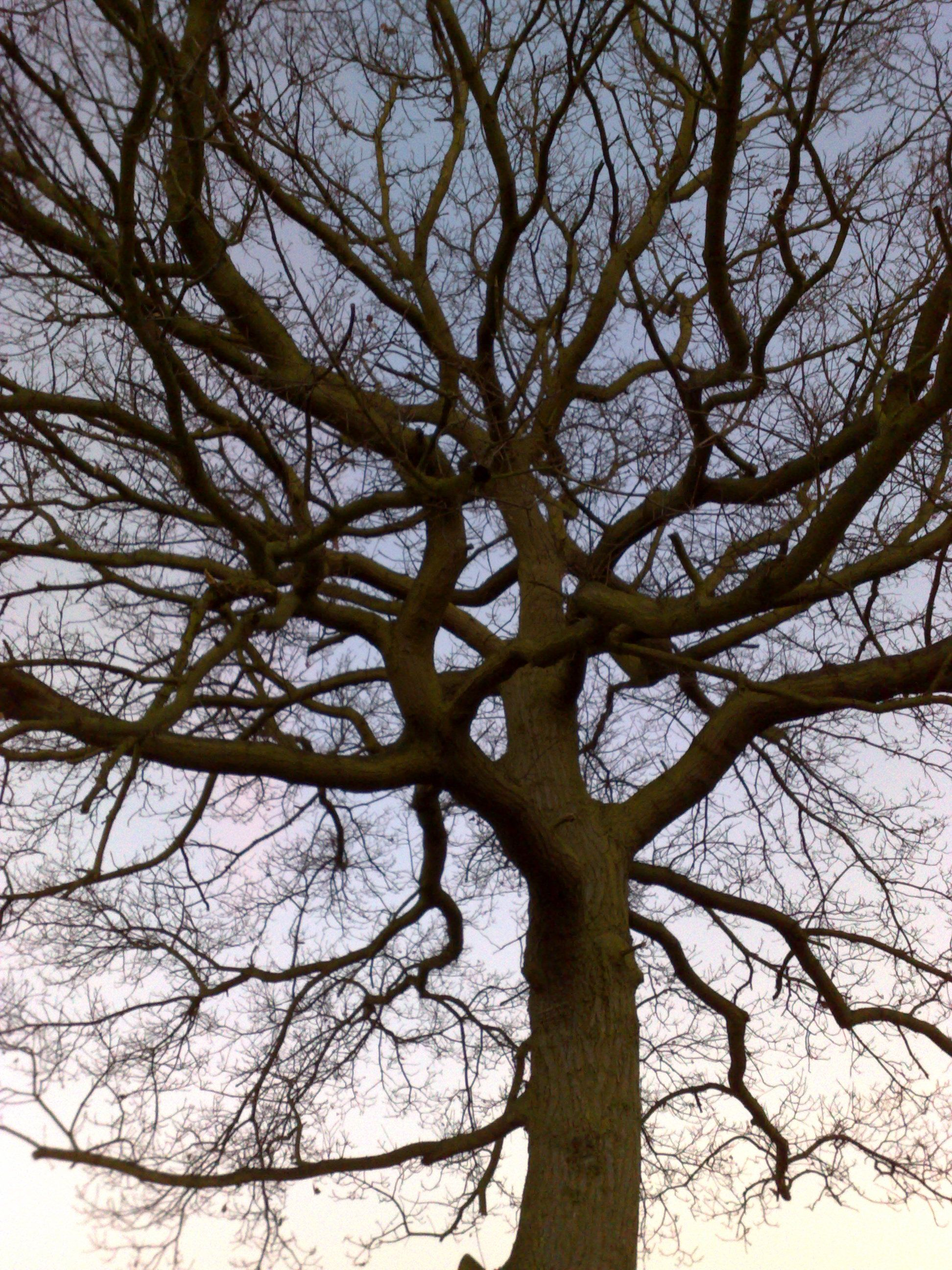 A tree on Thundersley Great Common in Winter Tree, Local