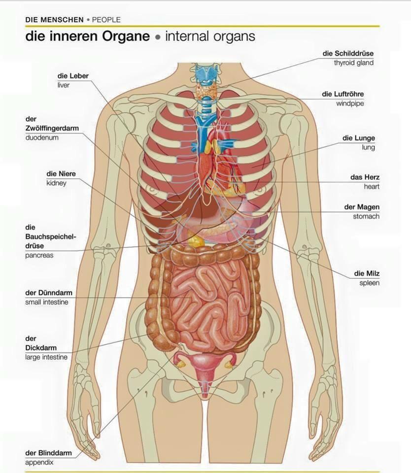 Deutsch lernen on   Body cells