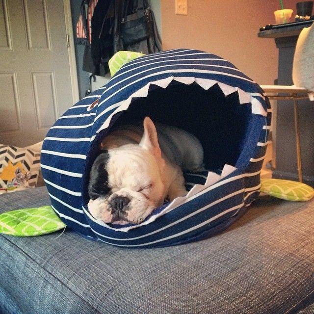 Pin By Dayna Shewan On French Bulldogs Boston Terriers English Bulldogs And Pugs French Bulldog Animals Dogs