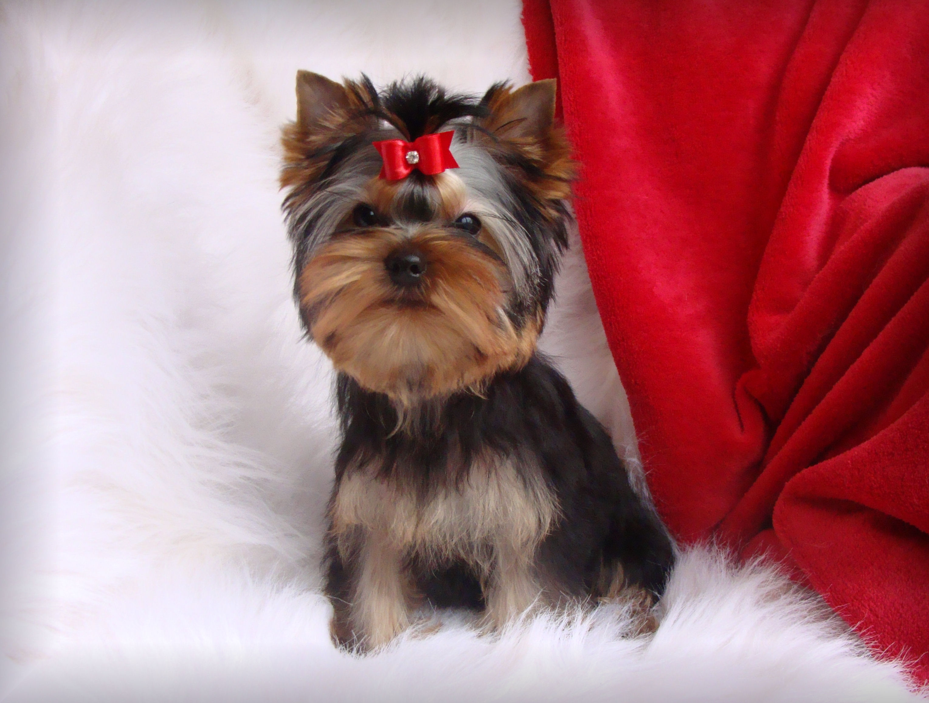 Jala Yorkies In Indiana Available Yorkie Puppies Yorkie Puppies For Sale In Yorkshire Terrier Puppies Yorkshire Terrier Puppy Yorkie Yorkie Yorkshire Terrier