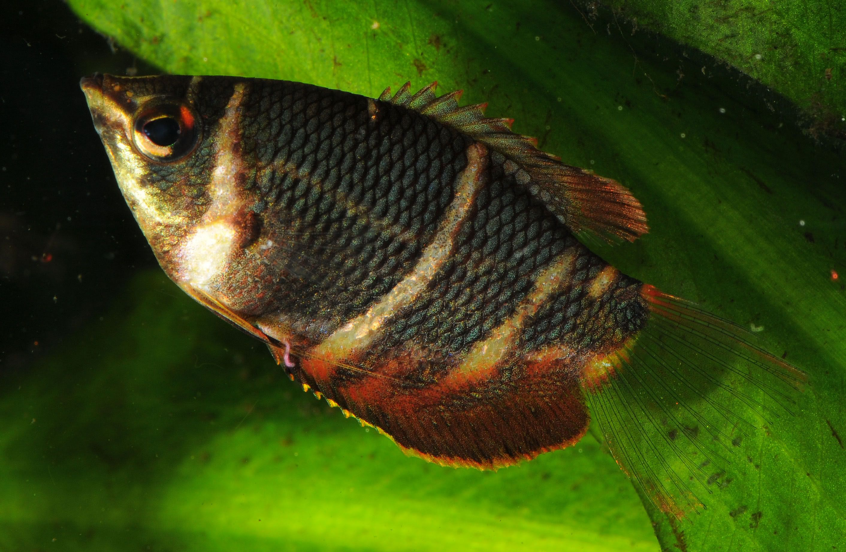 Thread Chocolate Gouramis Fishes Pinterest