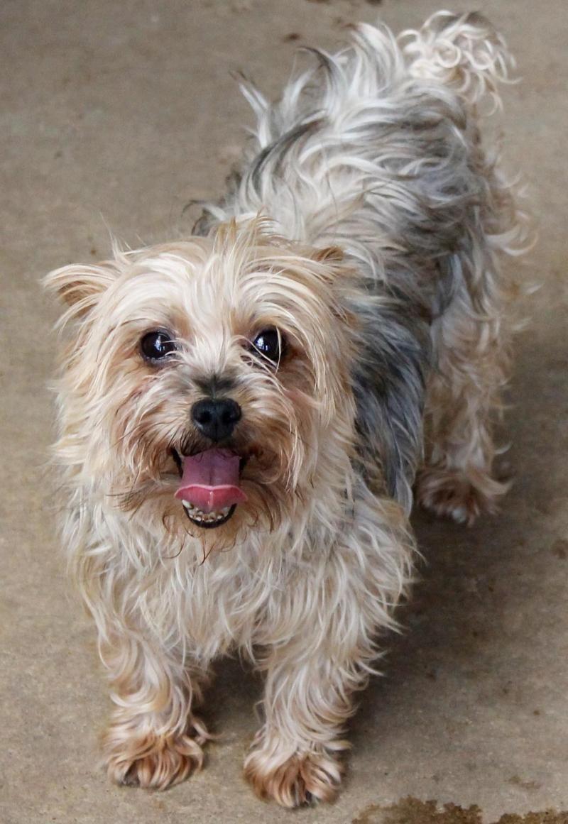 Adopt Megan On Yorkshire Terrier Yorkshire Terrier Dog Yorkie