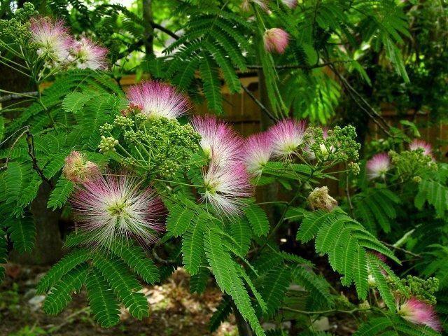 Mimosa Trees Mimosa Tree Persian Silk Tree Silk Tree