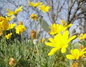 Bunga Kenikir Kuning Marigold Bunga Kebun Mekar