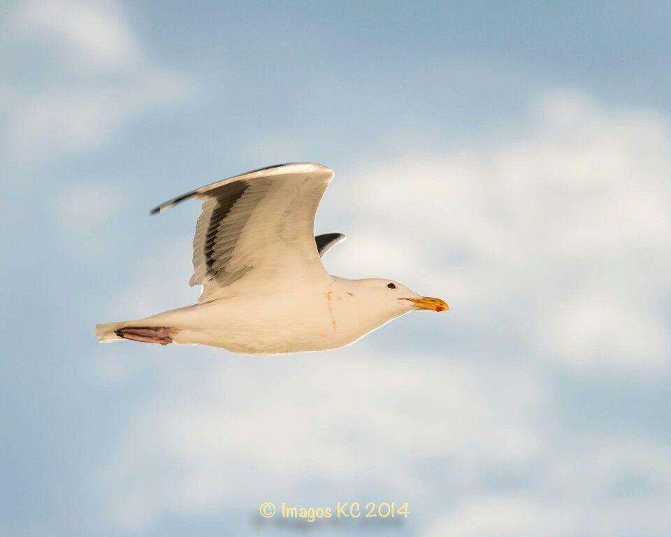 Mexican gull