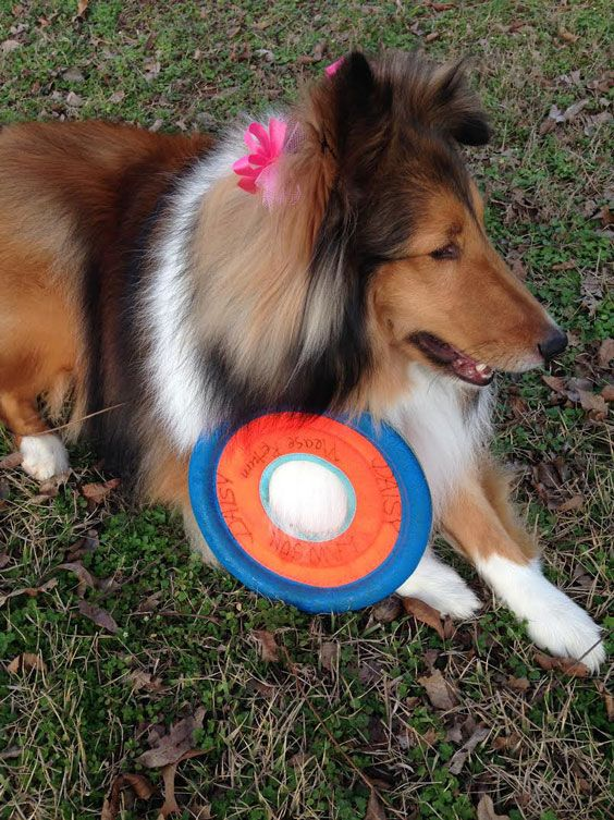 http://sheltienation.com/wp-content/uploads/2017/02/daisy-bow-frisbee.jpg?utm_source=Sheltie+Nation+Subscribers&utm_campaign=1eb6500824-RSS_EMAIL_CAMPAIGN&utm_medium=email&utm_term=0_f235c5a63f-1eb6500824-87202577