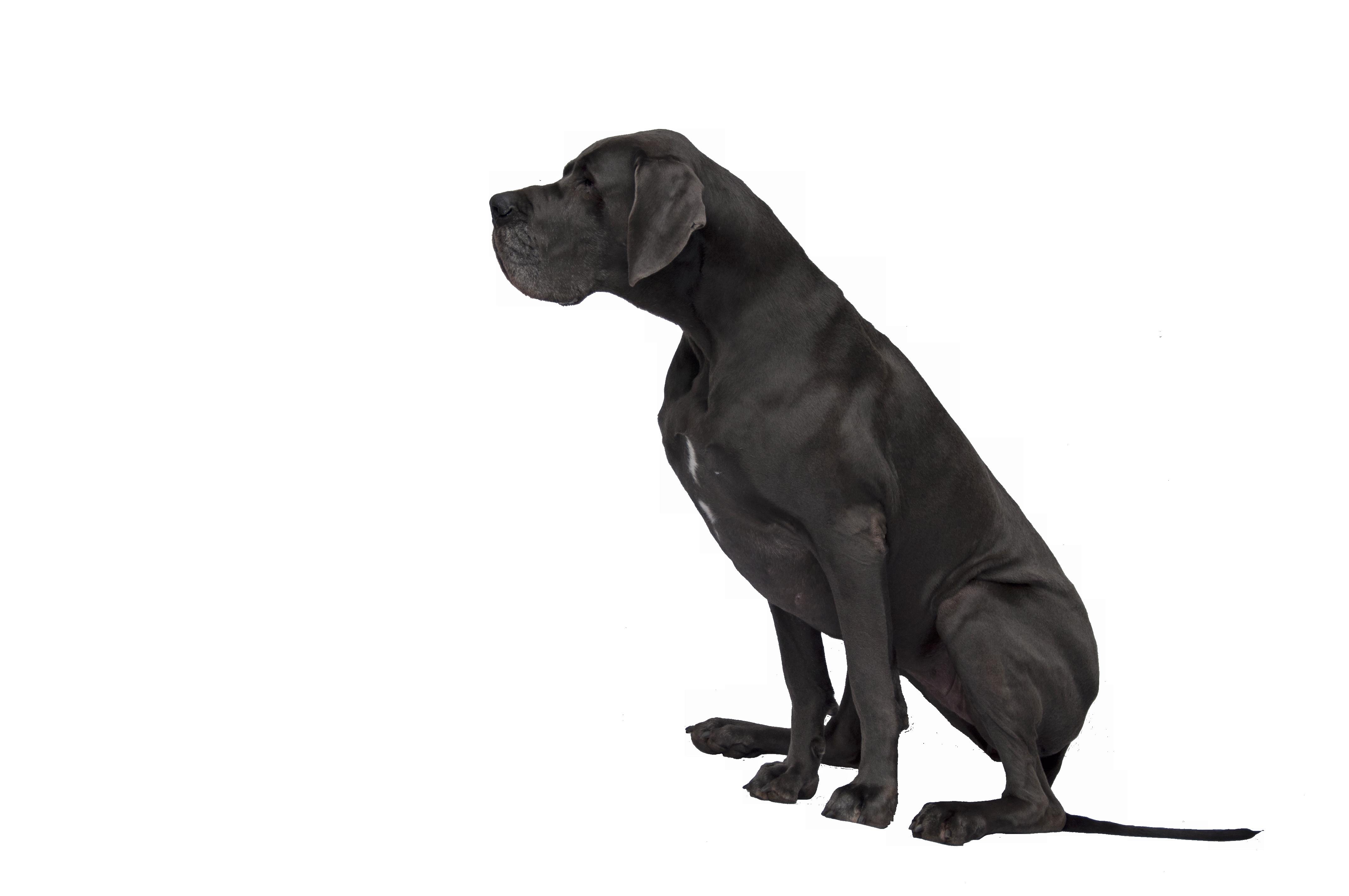 Black Great Dane Png Image Great Dane Puppy Black Great Danes Great Dane