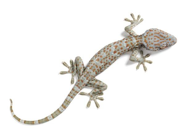 Endangered Gecko Reptiles Kids Coloring Pages Free Colouring ...